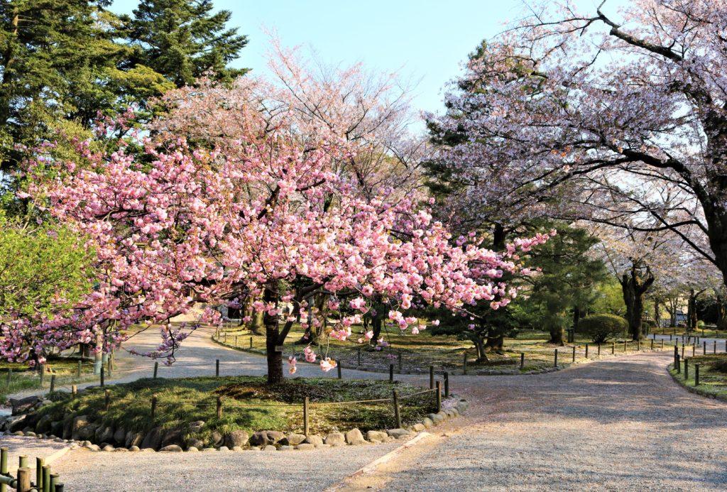 【2020春】兼六園の桜の見頃・開花予想・人気スポット10ヵ所や花見ライトアップ 兼六園 楊貴妃05