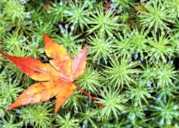 【紅葉】石川・金沢兼六園の見頃・混雑時間・駐車場やライトアップ2021について 那谷寺の苔アップ01